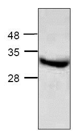 SDS-PAGE - Recombinant Human Apolipoprotein E (ab123749)