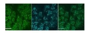 Immunocytochemistry/ Immunofluorescence - Anti-Muc19 antibody (ab123813)