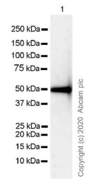 Western blot - Anti-IgG antibody [R10Z8E9] (ab124055)