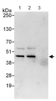 Immunoprecipitation - Anti-Cdk9 antibody (ab124261)