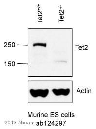Western blot - Anti-Tet2 antibody (ab124297)