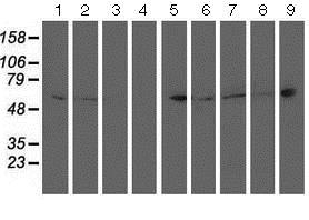 Western blot - Anti-PTP1B antibody [OTI1D10] (ab124375)