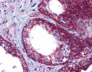 Immunohistochemistry (Formalin/PFA-fixed paraffin-embedded sections) - Anti-Grp75/MOT antibody (ab124382)
