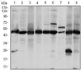 Western blot - Anti-ASS1 antibody [2B10] (ab124465)