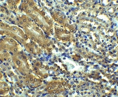 Immunohistochemistry (Formalin/PFA-fixed paraffin-embedded sections) - Anti-Angiotensin II Type 1 Receptor antibody (ab124505)