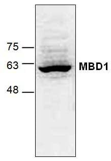 Western blot - Anti-MBD1 antibody (ab124519)