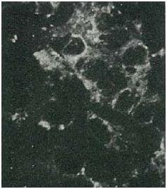 Immunocytochemistry/ Immunofluorescence - Biotin Anti-Hepatitis C Virus NS4A antibody [S4-13] (ab124526)