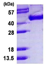 SDS-PAGE - Recombinant Influenza A Hemagglutin HA1 protein (ab124542)