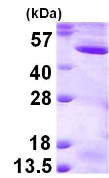 SDS-PAGE - Recombinant Human MEK2 protein (ab124543)