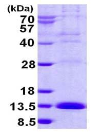 SDS-PAGE - Recombinant Human LSM2 protein (ab124544)