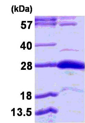 SDS-PAGE - Recombinant Human STYX protein (ab124584)