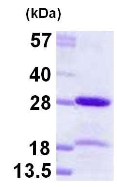 SDS-PAGE - Recombinant Human HP1 alpha protein (ab124602)