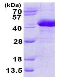 SDS-PAGE - Recombinant Human PTGR2 protein (ab124605)