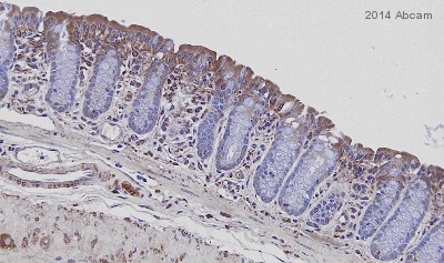 Immunohistochemistry (Formalin/PFA-fixed paraffin-embedded sections) - Anti-MUC13 antibody (ab124654)