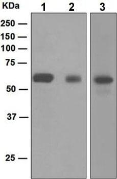 Western blot - Anti-SCAI antibody [EPR4128] (ab124688)