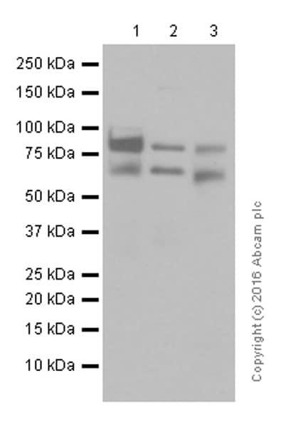 Western blot - Anti-ADAM10 antibody [EPR5622] (ab124695)