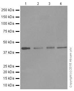 Western blot - Anti-Dux4 antibody [E5-5] (ab124699)