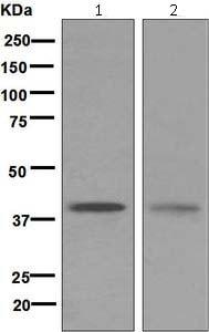 Western blot - Anti-GDF1 antibody [EPR5815] (ab124706)