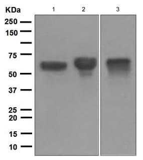 Western blot - Anti-IgA antibody [EPR5367-76] (ab124716)