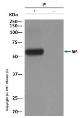 Immunoprecipitation - Anti-IgA antibody [EPR5367-76] (ab124716)