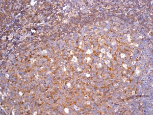Immunohistochemistry (Formalin/PFA-fixed paraffin-embedded sections) - Anti-CD89 antibody [EPR4622(2)] (ab124717)