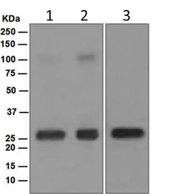 Western blot - Anti-Lambda Light chain antibody [EPR5367-62] (ab124719)