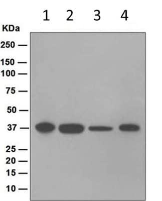Western blot - Anti-JAB1 antibody [EPR1350] (ab124720)
