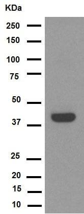 Western blot - Anti-GDF11 + GDF8/Myostatin antibody [EPR4567(2)] (ab124721)
