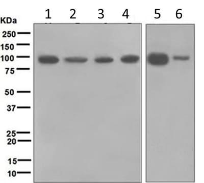 Western blot - Anti-TAB3 antibody [EPR5965] (ab124723)