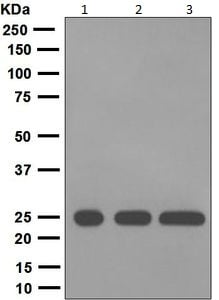 Western blot - Anti-Kappa light chain antibody [EPR5367-8] (ab124727)