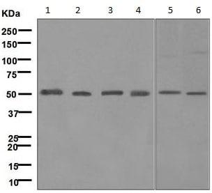 Western blot - Anti-UBA3 antibody [MILR42872] (ab124728)