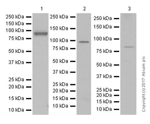 Western blot - Anti-CD168 antibody [EPR4054] (ab124729)