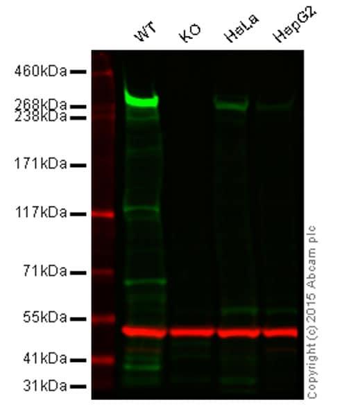 Western blot - Anti-CENPE antibody [EPR4543(2)] (ab124733)