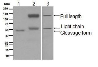 Western blot - Anti-Kininogen 1 antibody [EPR6097] (ab124737)