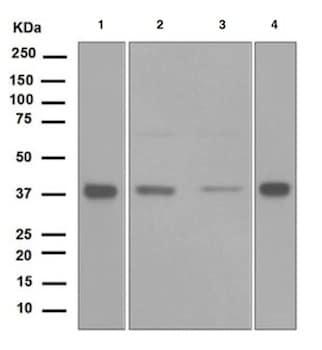 Western blot - Anti-Ogg1 antibody [EPR4664(2)] (ab124741)