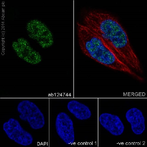Immunocytochemistry/ Immunofluorescence - Anti-IRF2 antibody [EPR4644(2)] (ab124744)