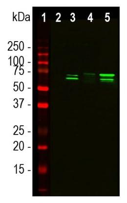 Western blot - Anti-TAF15 antibody [4D71] (ab124746)