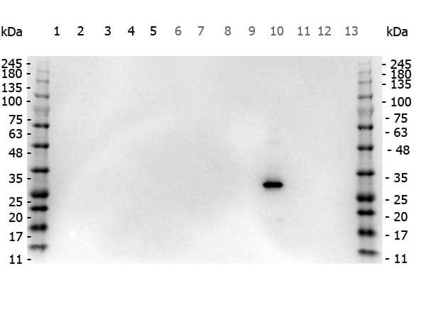 Western blot - Anti-RFP antibody (ab124754)