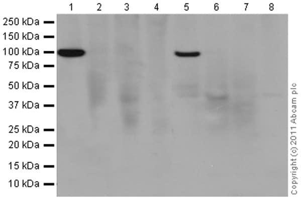 Western blot - Anti-Interferon alpha/beta receptor 1 antibody [EPR6244] (ab124764)