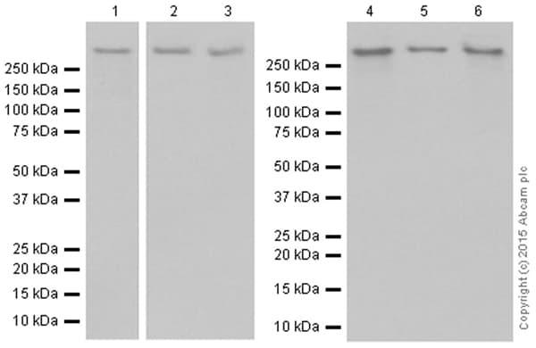 Western blot - Anti-M6PR (cation independent) antibody [EPR6599] - Lysosome Membrane Marker (ab124767)
