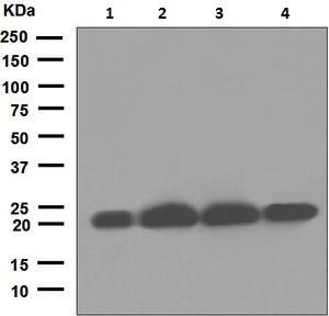 Western blot - Anti-CSN8 antibody [EPR5139] (ab124779)