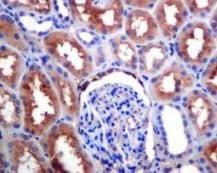 Immunohistochemistry (Formalin/PFA-fixed paraffin-embedded sections) - Anti-EAAT3 antibody [EPR6774(B)] (ab124802)