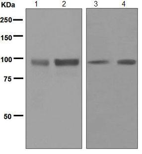 Western blot - Anti-SP1 antibody [EPR6662(B)] (ab124804)