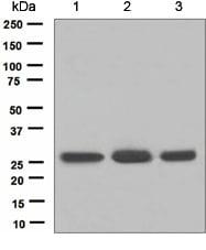 Western blot - Anti-FADD antibody [EPR5030] (ab124812)