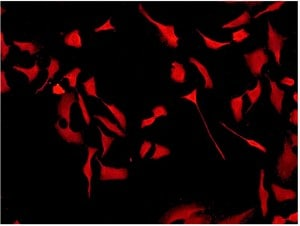 Immunocytochemistry/ Immunofluorescence - Anti-Cdk6 antibody [EPR4515] (ab124821)