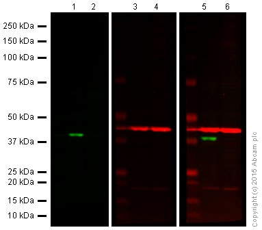 Western blot - Anti-Cdk6 antibody [EPR4515] (ab124821)