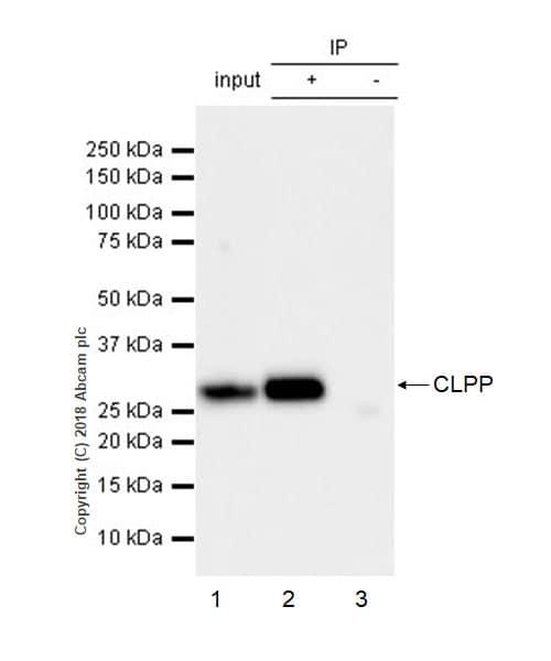 Immunoprecipitation - Anti-CLPP antibody [EPR7133] (ab124822)