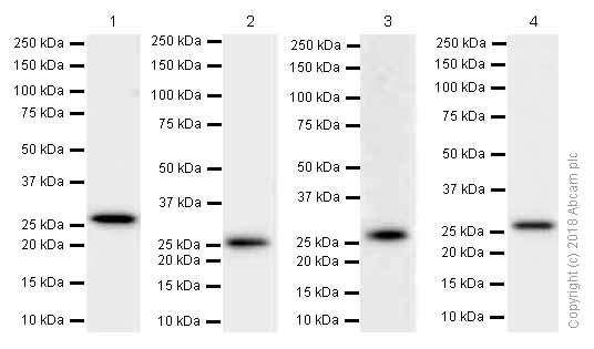 Western blot - Anti-CLPP antibody [EPR7133] (ab124822)