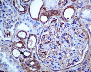 Immunohistochemistry (Formalin/PFA-fixed paraffin-embedded sections) - Anti-SLC22A3/OCT3 antibody [EPR6630] (ab124826)