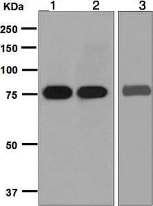 Western blot - Anti-SLC22A3/OCT3 antibody [EPR6630] (ab124826)